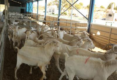 saanen keçi çiftliği